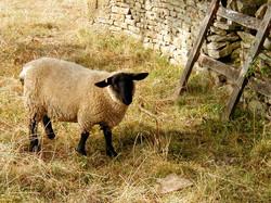 English Sheep