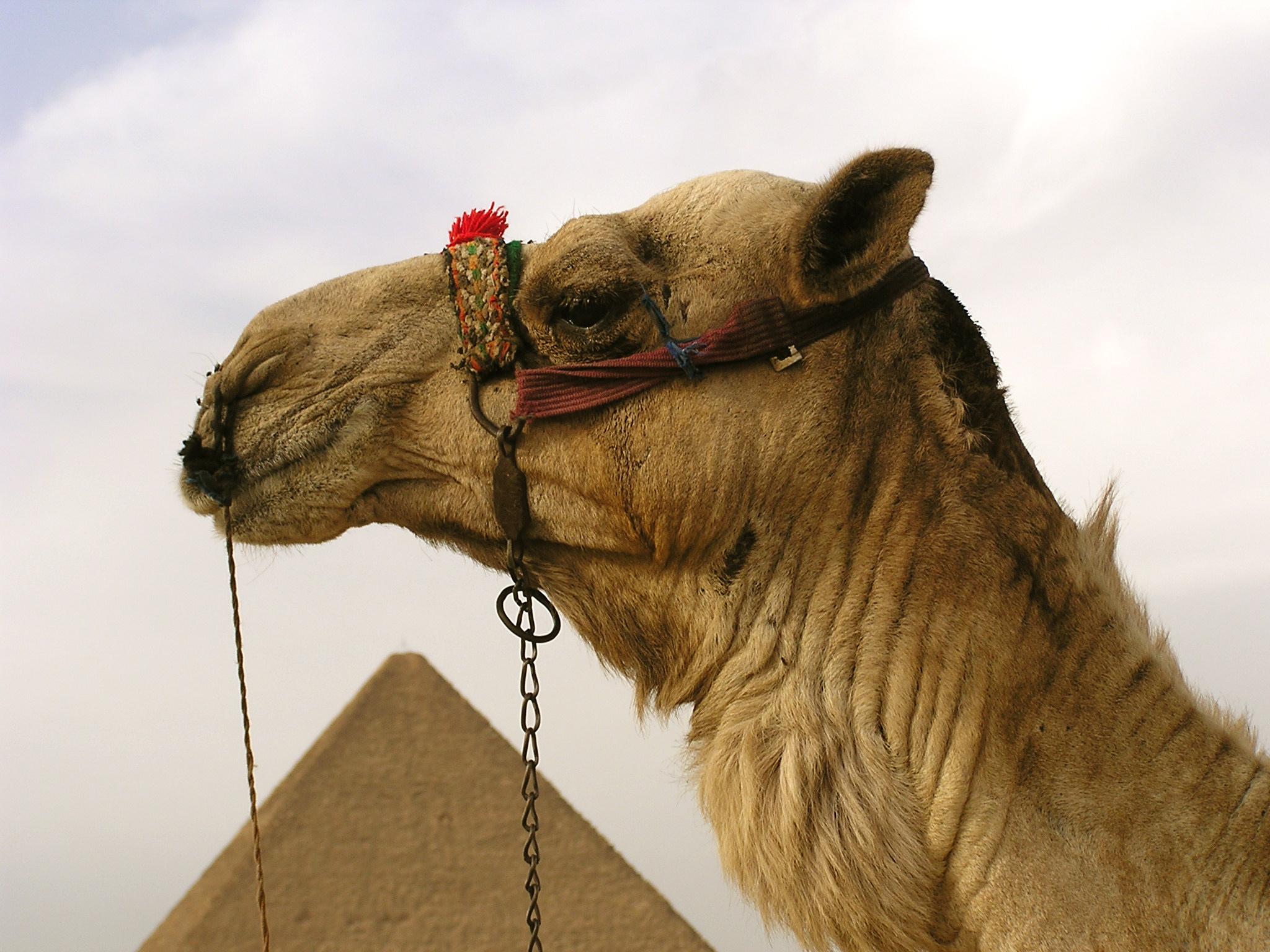 Camel & Pyramid, Giza