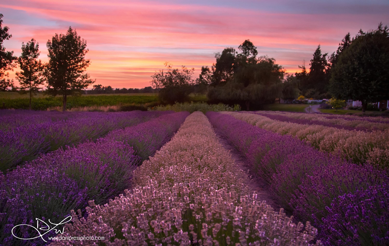 Lavender I
