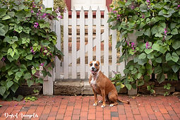 pit bull mix with picket fence