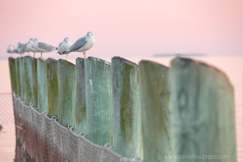 Pink and Green with Gulls seagulls sunset maryland annapolis danielle w press nature beaut