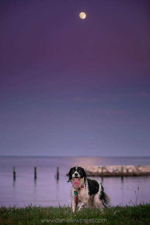 Casey in the Moonlight, signed, moon, water, beach, annapolis, pets, dogs, dog, pet, danie