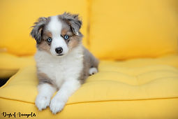 mini aussie blue merle on yellow background