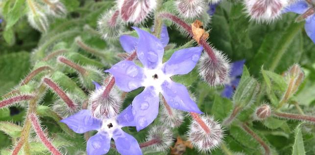 Fleur bourrache 2.jpg