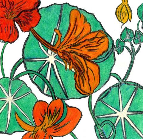 Grasset's Nasturtiums