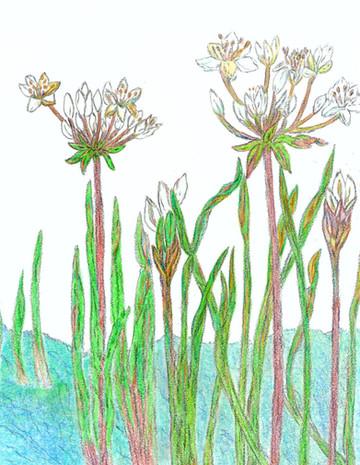 Flowering Rushes