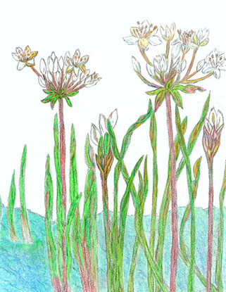 Flowering Rushes