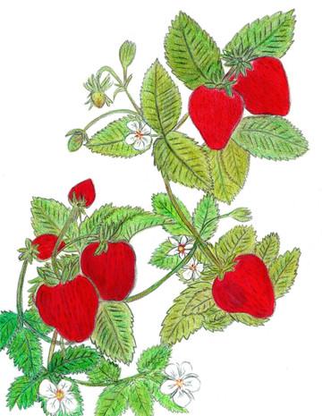 Looping Strawberries