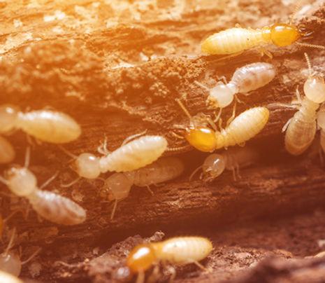 termite inspection