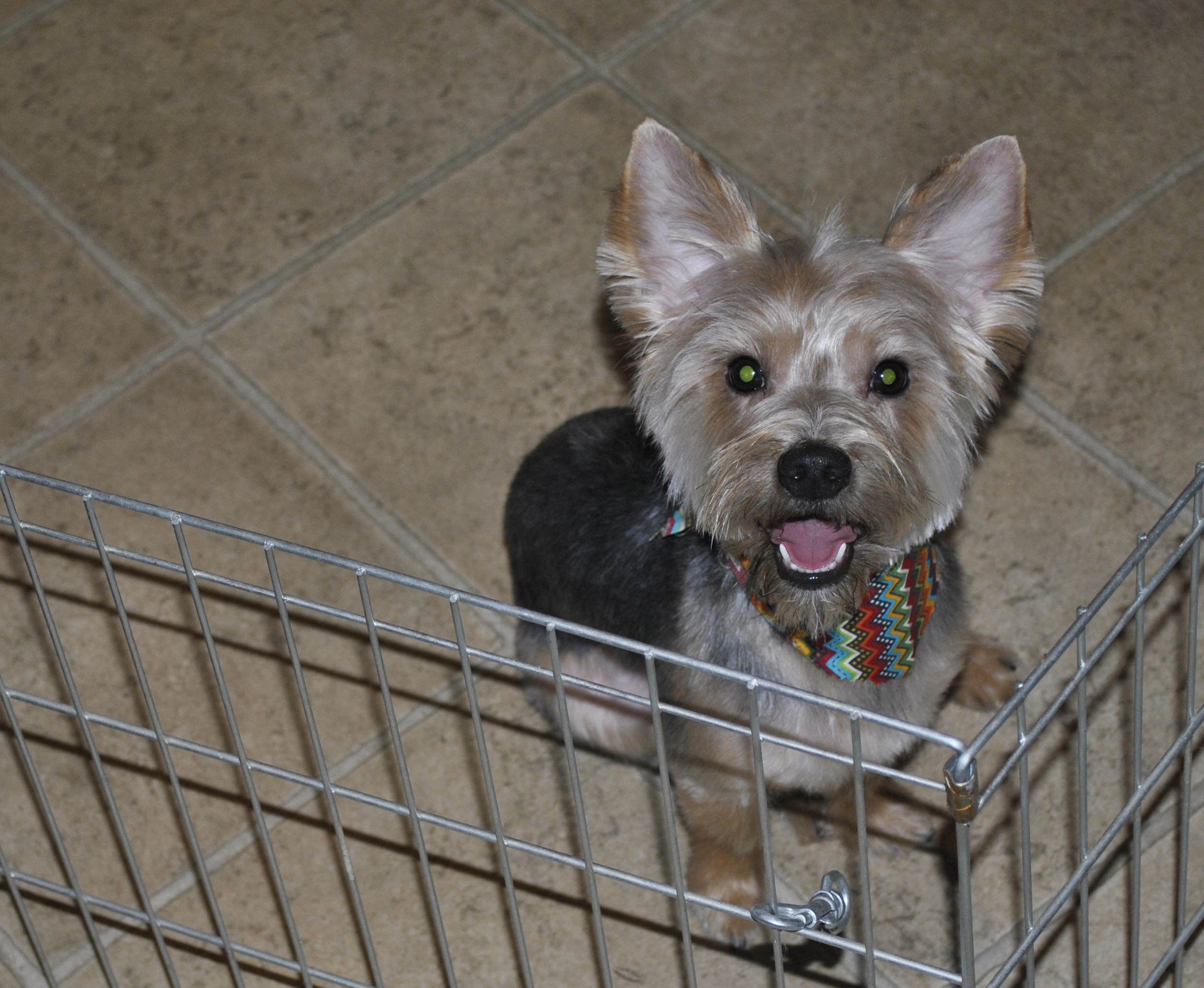 Duke the Yorkshire Terrier