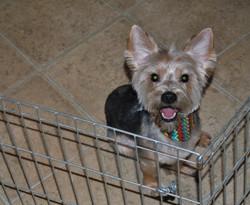 Duke the Yorkshire Terrier
