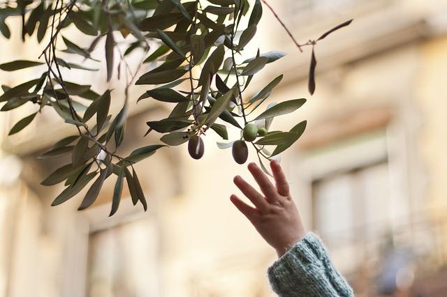 Lapsen käsi kurkottaa oliivipuun oliivia kohti