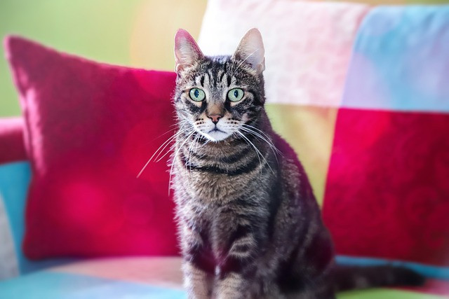 Harmaaraidallinen kissa istuu värikkäällä sohvalla