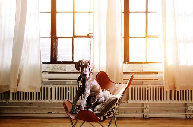 Tanskandoggipentu istuu tyynyn päällä tuolilla, joka on liian pieni ja aurinko paistaa isojen ikkunoiden läpi