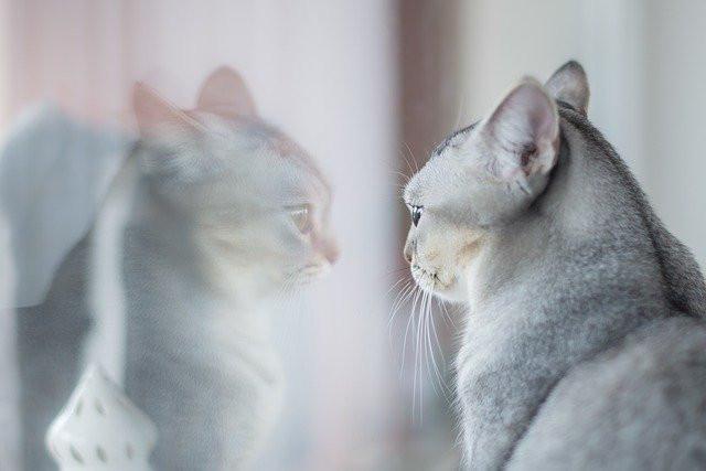 Valppaana oleva vaaleanharmaa kissa katsoo heijastustaan ikkunasta ja kuuntelee mitä ympärillä tapahtuu