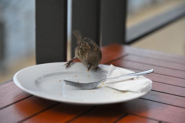 Varpunen noukkii murusia tyhjältä valkoiselta lautaselta