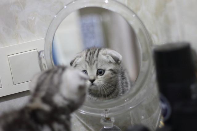 Harmaaraidallinen kissanpentu katselee itseään peilistä