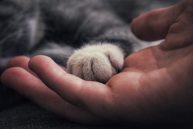 Harmaaraidallisen, nukkuvan kissan valkoinen tassu ihmisen kämmenellä