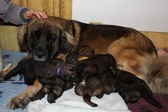 cuccioli leonberger
