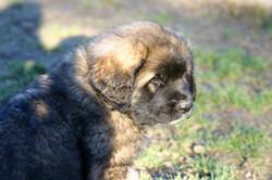 cucciola leonberger