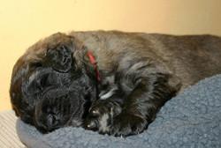cuccioli leonberger 17 gg_