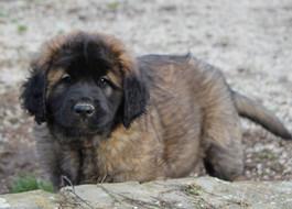 WIYOT UNICA - Cucciola marrone