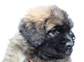 Leonberger cucciolo
