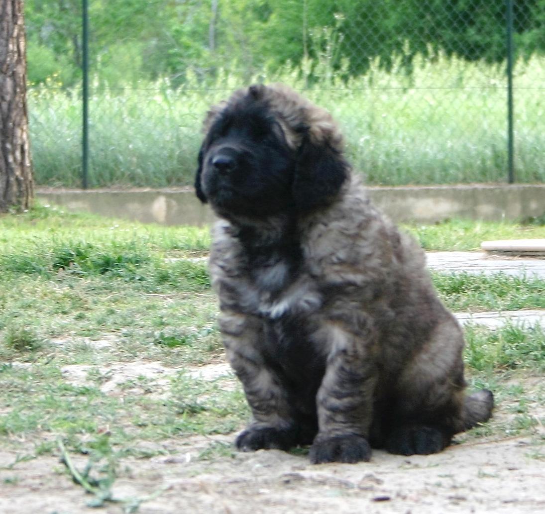 cucciolo leonberger