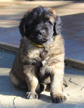 cucciolo giallo