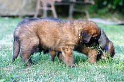 cuccioli maschi