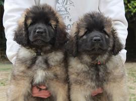 Leonberger cuccioli