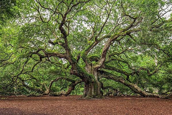 angel-oak-tree-live-oak-johns-island-sc.