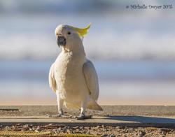 cockatoo strutting his stuff JPEG WM