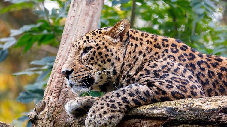 Yala National Park Leopard Safari.jpg