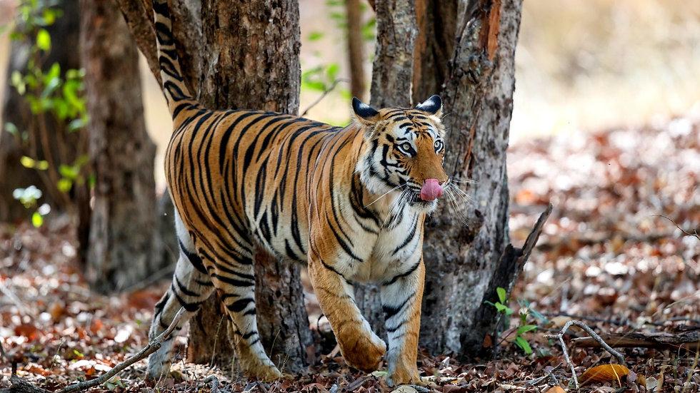 Documentary on Wildlife in Bandhavgarh T