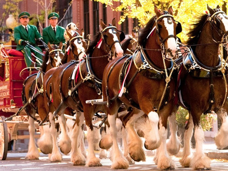 Budweiser Clydesdales in Birmingham Meet and Greet