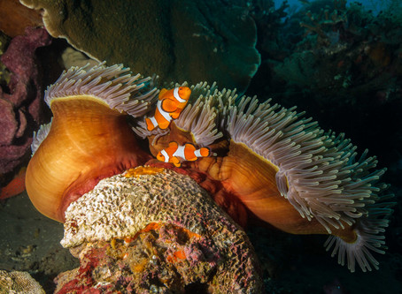 Marine life of The Great Barrier Reef - Anemonefish