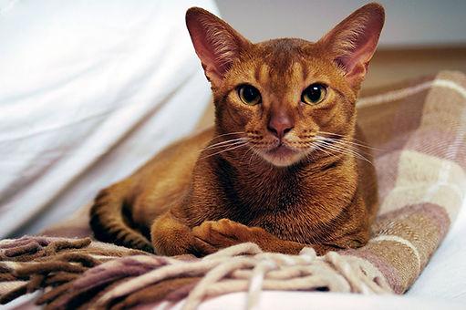 abyssinian-cat.jpg