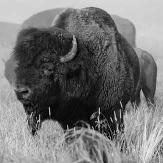 NZE-bison-2020-9186.jpg