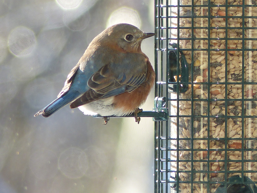 Female Eastern bluebird in Raleigh, NC