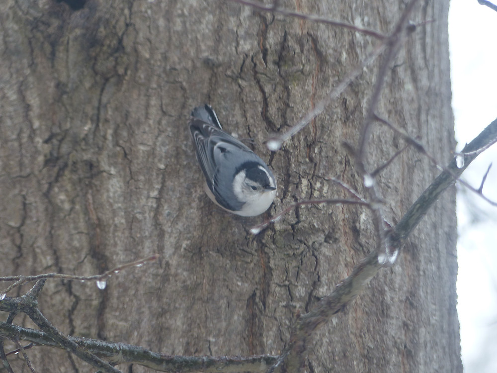 White-breasted nuthatch in Raleigh, NC
