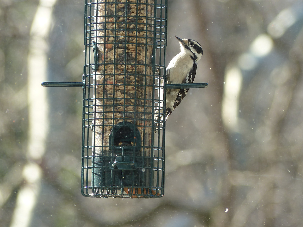 Downy woodpecker at bird feeder in Raleigh, NC