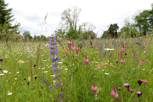 Neu angelegte Blumenwiese in Guévaux