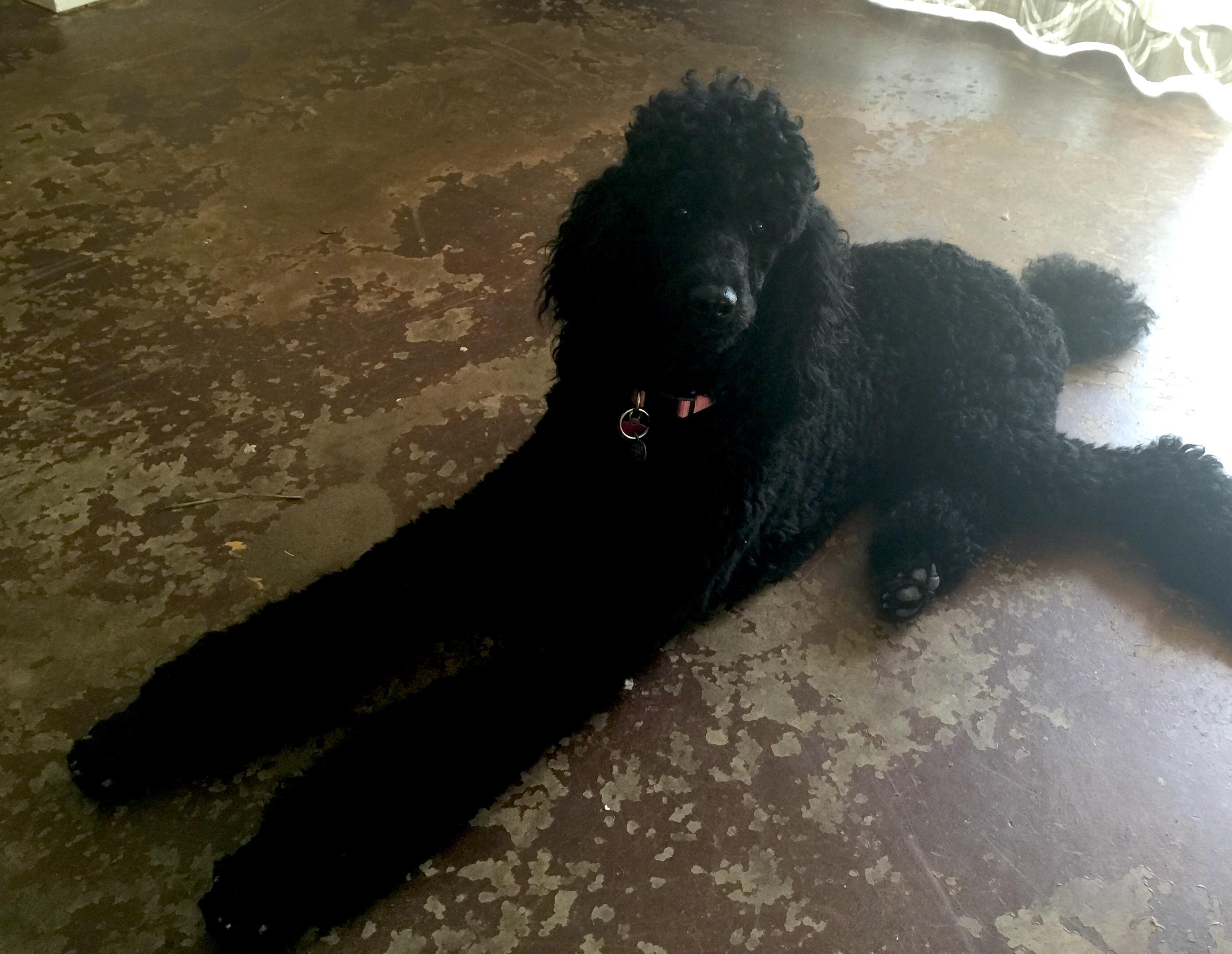 Black standard poodle florida