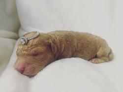 moyen red poodle puppy