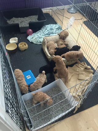 Litter box training our poodles puppies