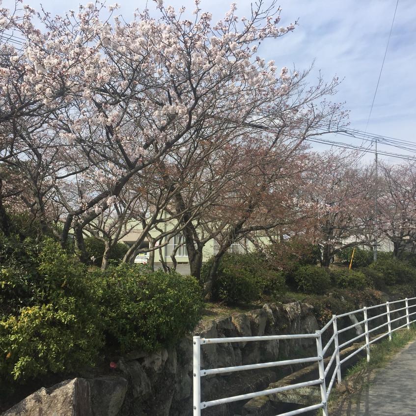 水影天神社桜