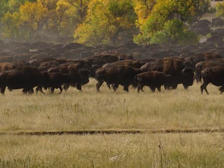 55th Annual Buffalo Roundup!