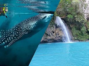 whale shark kawasan.jpg