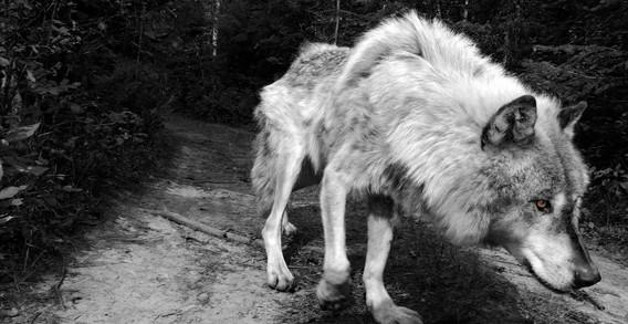 WolfWalk_Spirit.jpg